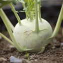 How do I use this Kohlrabi?
