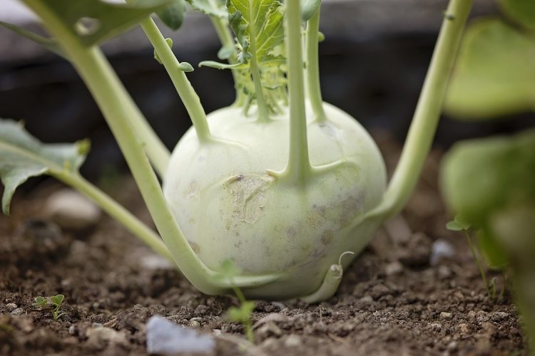 Kohlrabi Recipe Collections