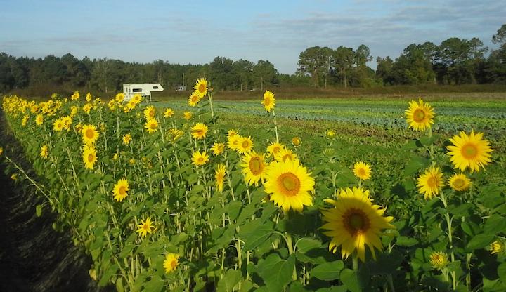 Fall crop of sunflowers, growing in the Lochloosa field.