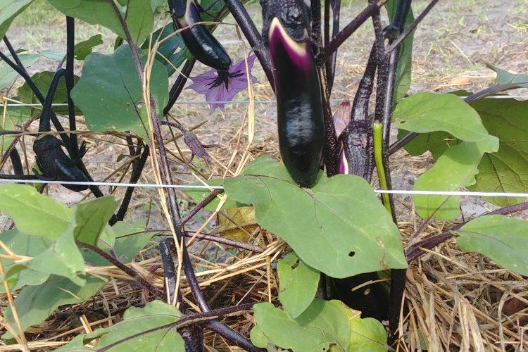 Grilled Japanese Eggplant W/ Ponzu