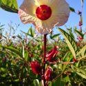 Roselle Hibiscus Tea