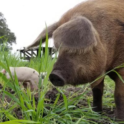 Pastured Pork Shares – Program Update